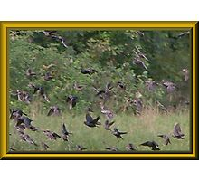 Cowbirds are in This Flock Photographic Print