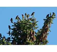 They Crowned the Pine Trees Photographic Print