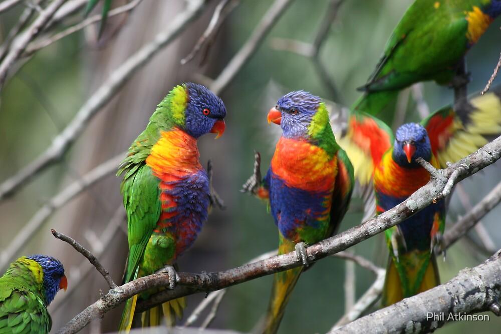 Rainbow lorikeets by Phil Atkinson