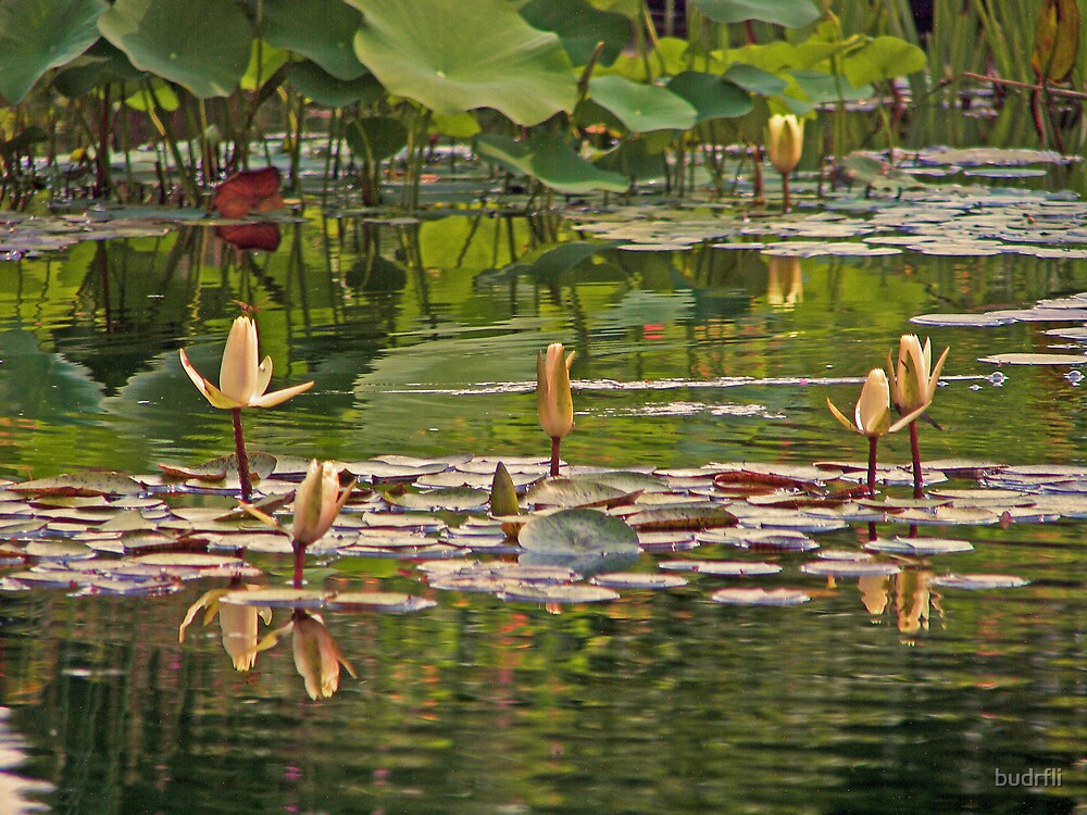 among lilies by budrfli