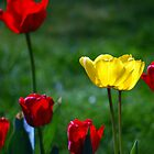 Tulips by Nick Wormald