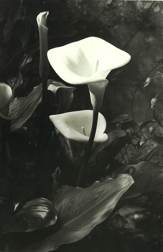 Lily by Stephen Jackson
