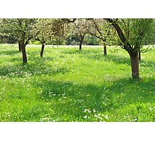 Orchard Photographic Print