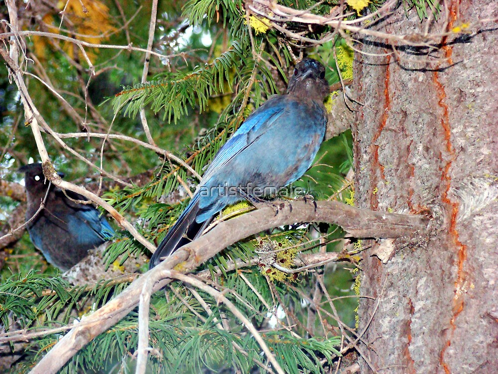 Blue Jay by artistfemale
