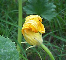 Pumpkin Bloom by Maria Dryfhout