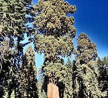 Sequoia National Park Majesty by Marielle O'Brien