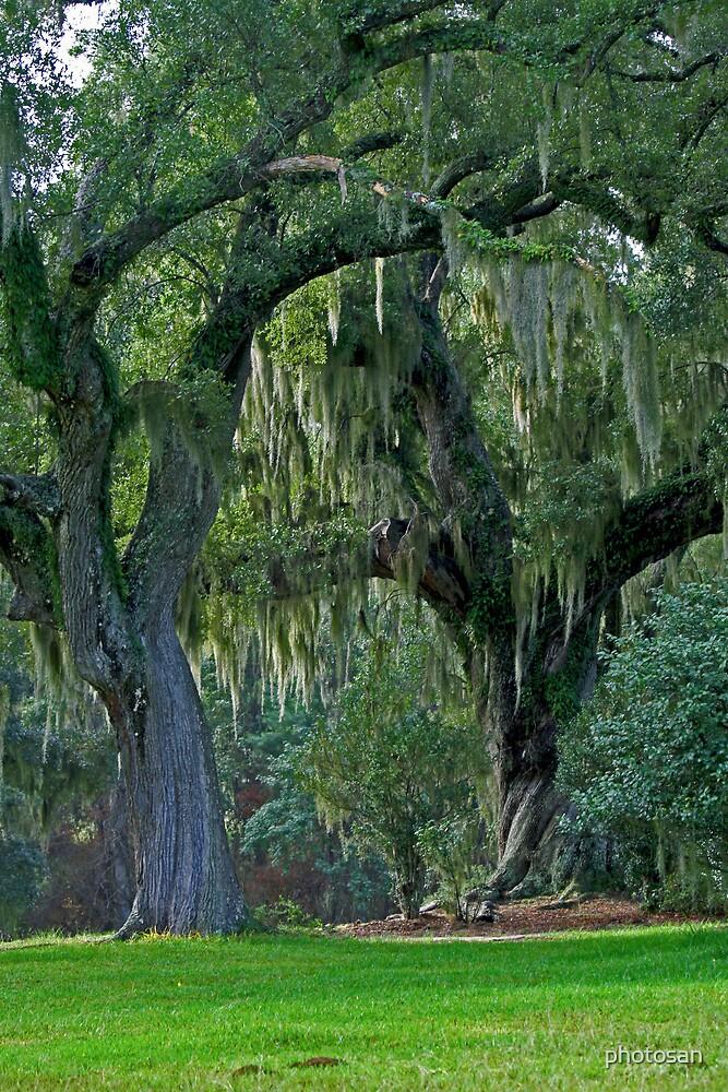 Tapestry Oak by photosan