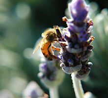 Lavender bee by Amanda Cole