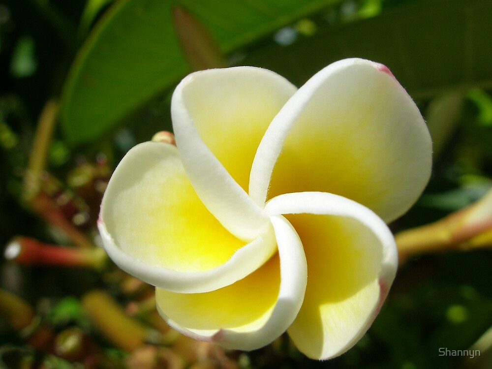 Frangipani Delight by Shannyn