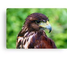 Falcons Eye Canvas Print