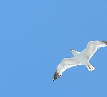Flying Gull by ssilverwood