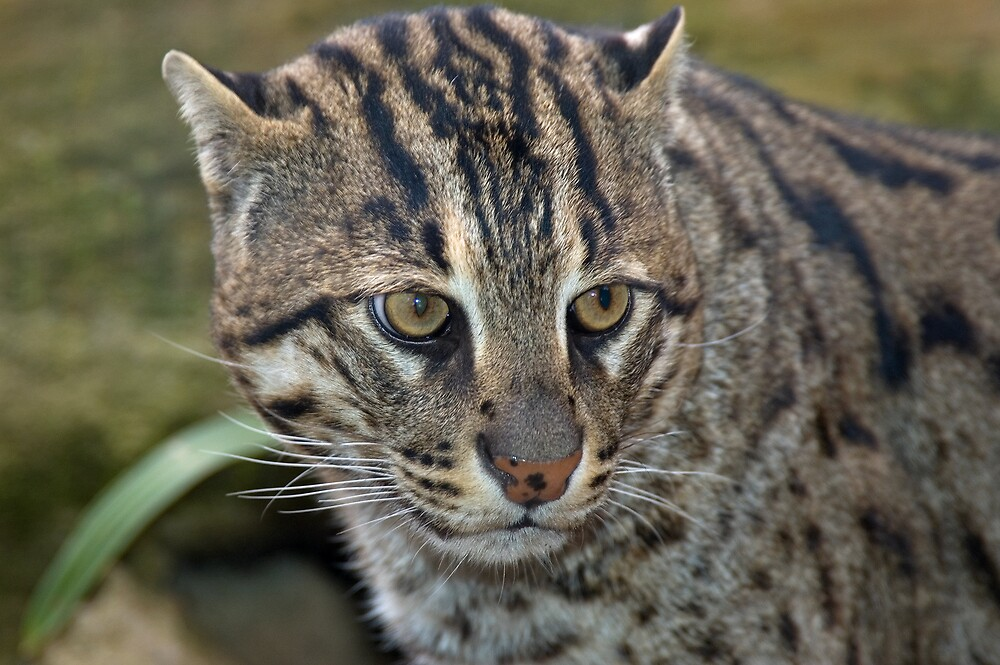 Fishing cat by Nathan T
