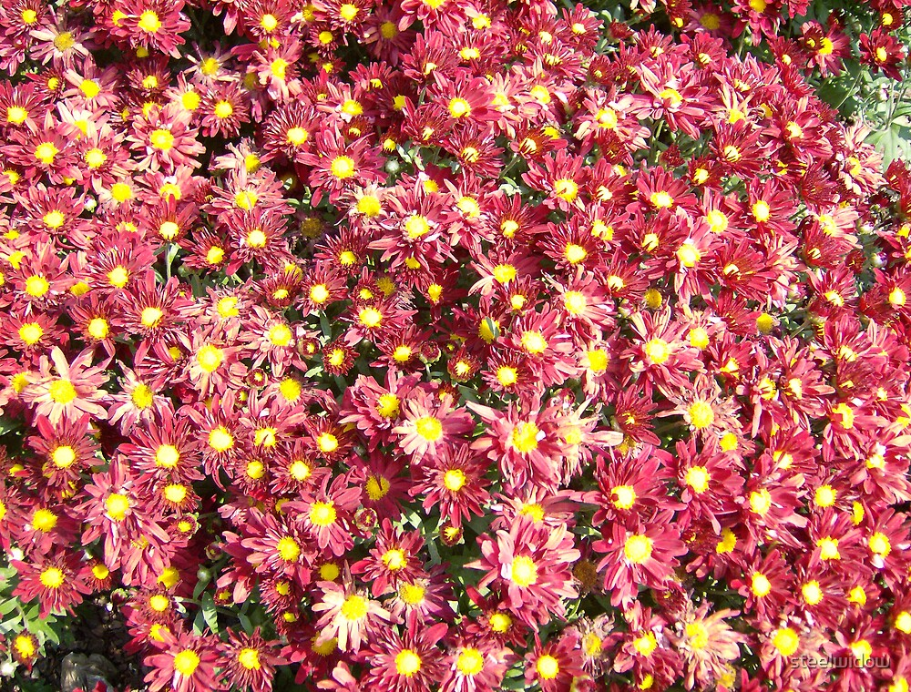 Red Mums by steelwidow