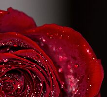 Red Rose macro 2 by John Velocci