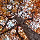 Red Maple Tree in November - Lost Maples State Park by RobGreebonPhoto