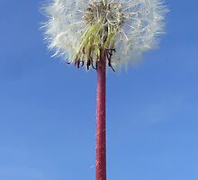 Dandelion Against Blue Sky by ssilverwood