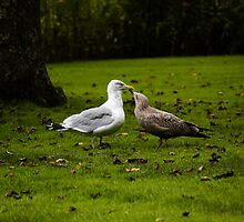 Love Gulls by kenmo