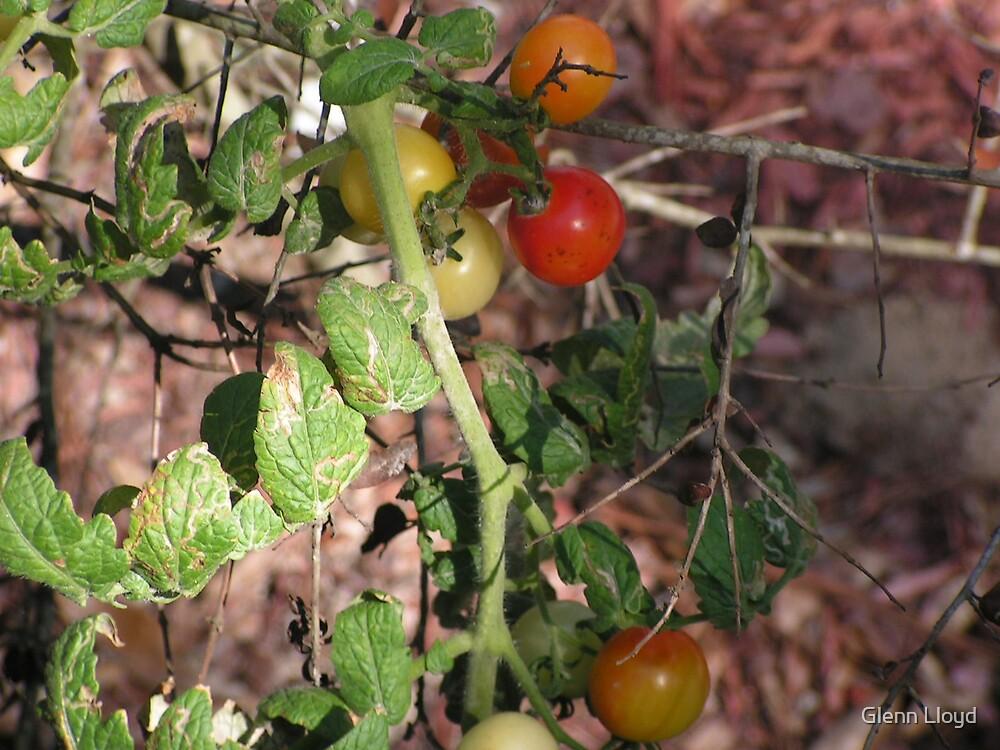 Cherry Tomatoe by Glenn Lloyd