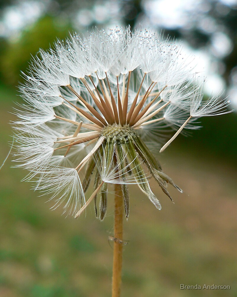 Starburst of Dandelion by Brenda Anderson