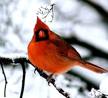 Cardinal in Tree by Anne McGrath