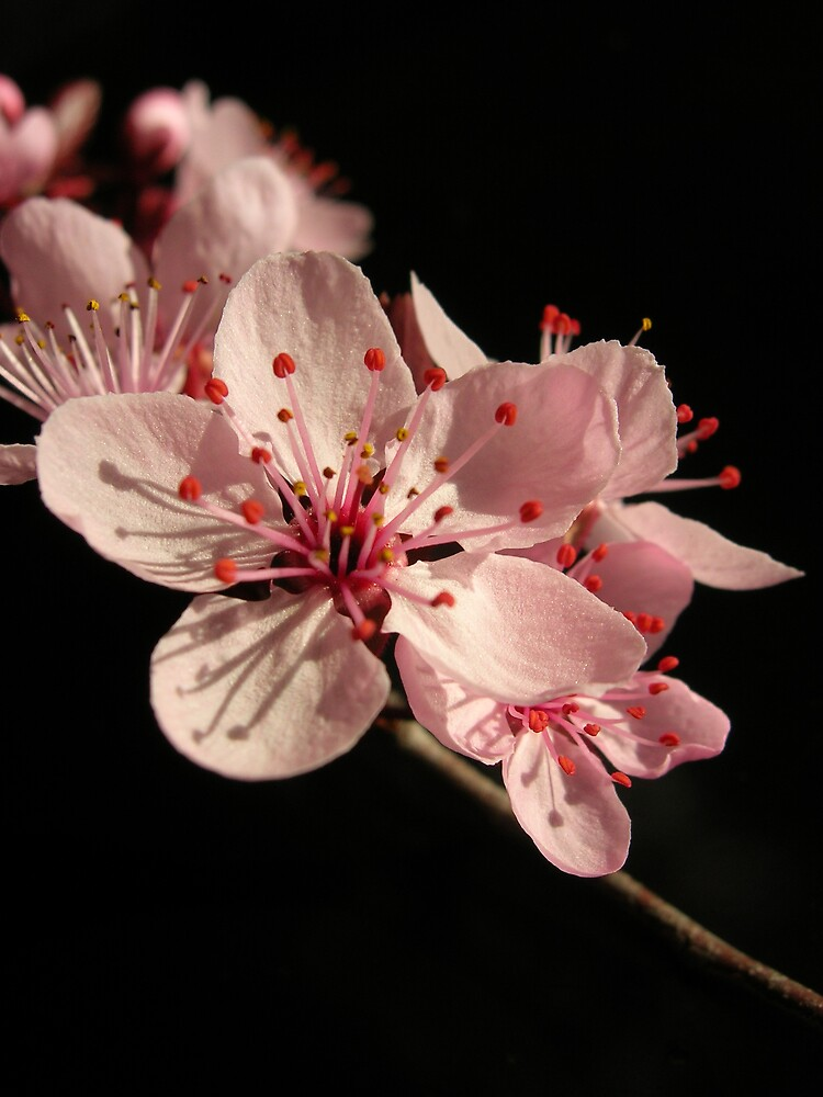 Cherry Blossom by RosePhotography
