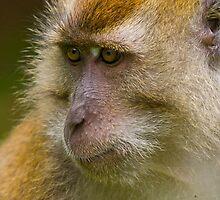 Rhesus Monkey 2 by Mark Snelson