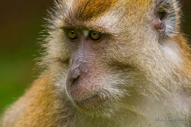 Rhesus Monkey 2 by Mark Snelson