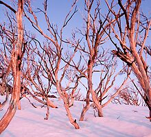 Pink Snow Gums by John Barratt