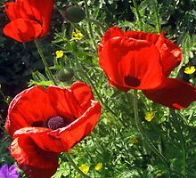 Poppy Border by joconti