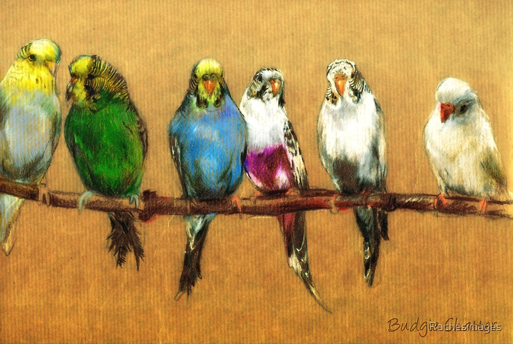 Budgies  by Rachesimages