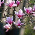 Japanese Magnolia by dbvirago