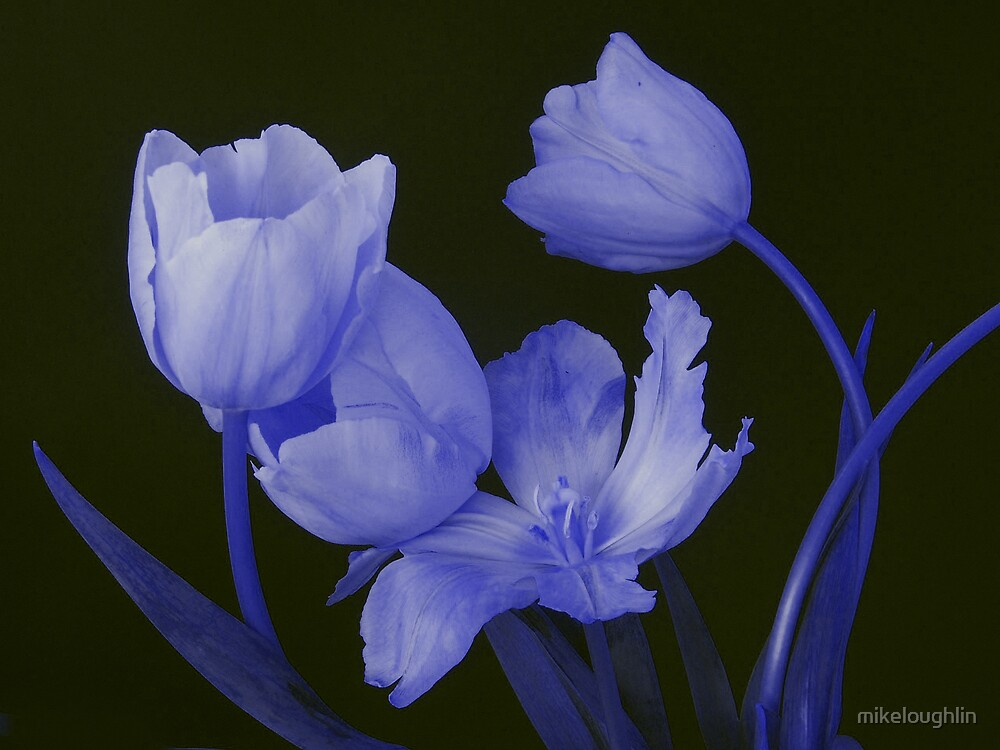 blue tulips by mikeloughlin