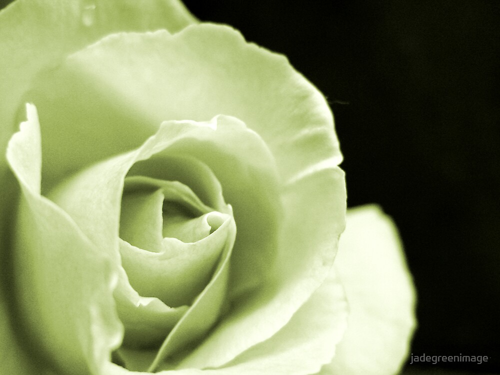 Rose Mono by jadegreenimage