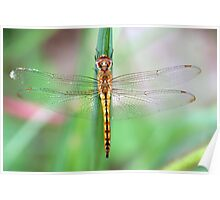 Gold-Winged Skimmer Dragonfly II Poster
