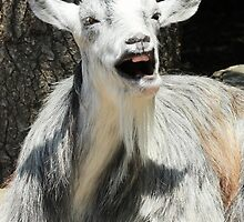 Laughing Goat by Cynthia Pulsifer Photography