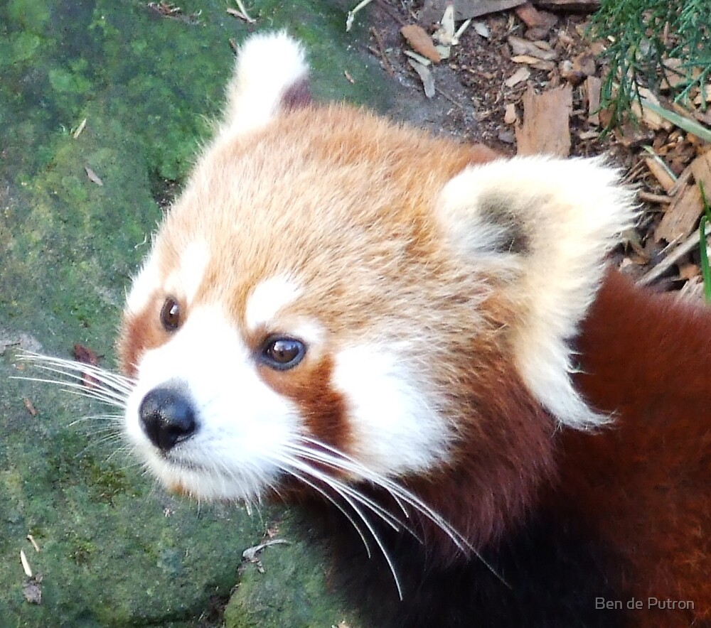 Red Panda by Ben de Putron