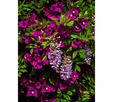 Wisteria among the bougainvillea Photographic Print