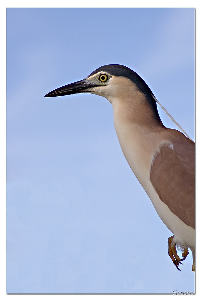 Nankeen Night Heron 1 by Seesee
