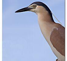 Nankeen Night Heron 1 by Seesee