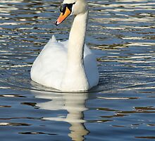 Elegant white swan. by britishphotos