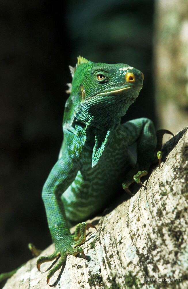 crested iguana by Tom  Cockrem