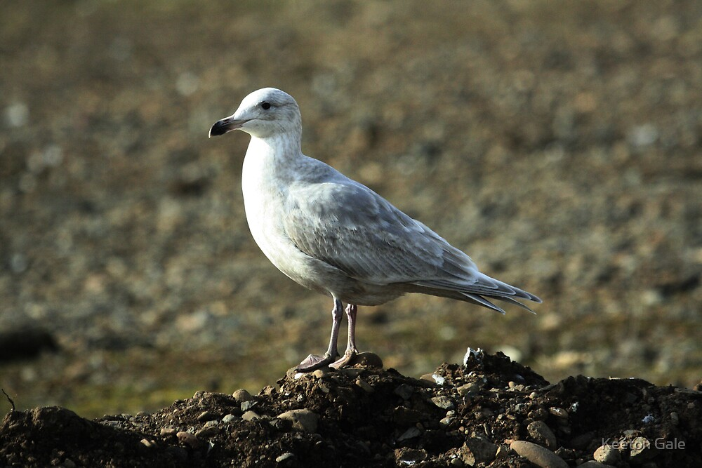 Ring--Billed Gull by Keeton Gale