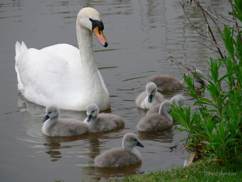 Seven Cygnets by David Benton