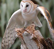 barn owl by pugdad