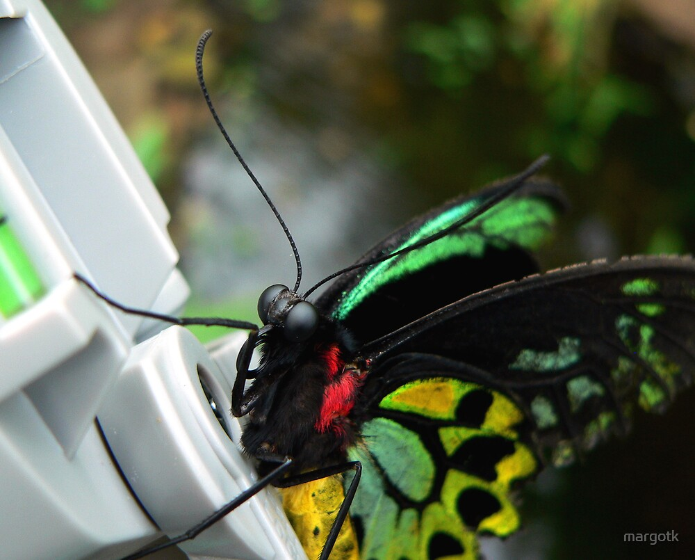 Cairns Birdwing Butterfly by margotk