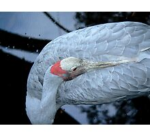 Brolga Photographic Print