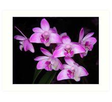 Dendrobium kingianum -ANOS 2000 x Carmel- Art Print