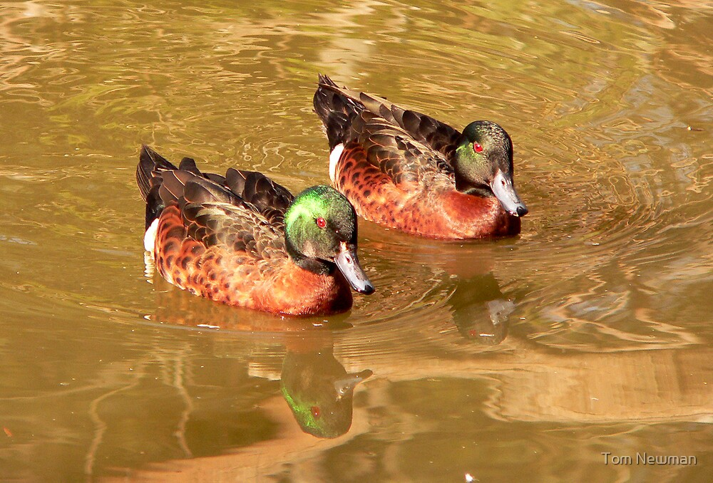 Chestnut Teals by Tom Newman
