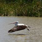 PELICAN.IMGP3822 by Murray Wills