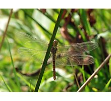 Dragonfly Through The Reeds Photographic Print